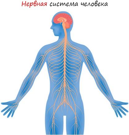 Нервная система общие сведения